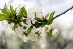 Les fleurs de cerise Image libre de droits