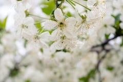 Les fleurs de cerise Photo libre de droits