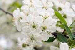 Les fleurs de cerise Photographie stock