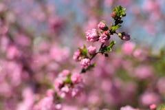 Les fleurs de cerisier Images stock