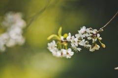 Les fleurs de cerisier avec le fond sur un pré ensoleillé 1234 Photographie stock
