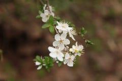 Les fleurs de cerisier blanches, avec le fond brouillé image libre de droits