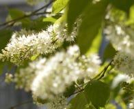 Les fleurs de cerisier blanches fleuries ont filmé le macro avec un fond brouillé pendant le premier ressort dans le jardin images stock