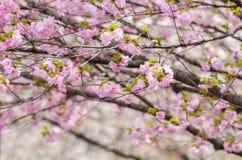 Les fleurs de cerisier de Sakura ou du Japon s'embranchent, qui entièrement bloomi photo libre de droits
