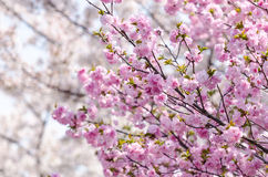 Les fleurs de cerisier de Sakura ou du Japon s'embranchent, qui entièrement bloomi photo stock