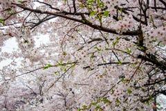 Les fleurs de cerisier entièrement déployées chez Gongendo se garent dans Satte, Saitama, Japon Image stock