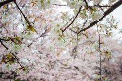 Les fleurs de cerisier entièrement déployées chez Gongendo se garent dans Satte, Saitama, Japon Photos stock