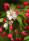 Les fleurs de cerisier fleurissent au printemps le tir de macro de soleil Photos libres de droits