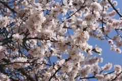 Les fleurs de cerisier fleurissent le ciel de ressort Photographie stock