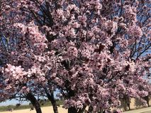 Les fleurs de cerisier ornent les rues photographie stock libre de droits