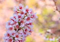 Les fleurs de cerisier ou Sakura fleurissent, Chiangmai, Thaïlande Photo libre de droits