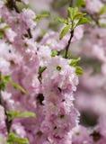 Les fleurs de cerisier de Sakura se focalisent pour s'embrancher contre le ciel bleu et opacifient le fond image libre de droits