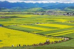 Les fleurs de chou dans Menyuan photos stock