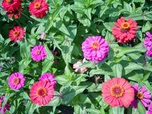 Les fleurs de chrysanthème images libres de droits