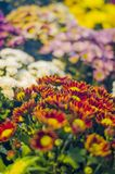 Les fleurs de chrysanthème dans le jardin image libre de droits
