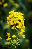 Les fleurs de colza photos stock
