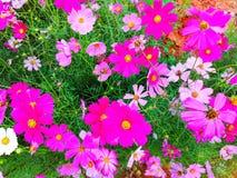 Les fleurs de cosmos fleurissent images stock