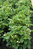 Les fleurs de fraise Image libre de droits