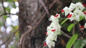 Les fleurs de Glorybower de saignement ou la fleur de sac banque de vidéos