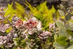 Les fleurs de Hawaïen Photo stock
