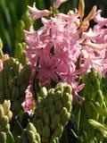 Les fleurs de jacinth de rose avec la lumière gentille Photo stock
