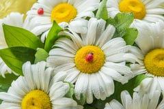 Les fleurs de la camomille dans les baisses de l'eau et de la coccinelle artificielle décorent un bouquet Images libres de droits