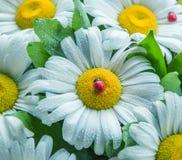 Les fleurs de la camomille dans les baisses de l'eau et de la coccinelle artificielle décorent un bouquet Photos stock