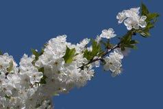 Les fleurs de la pomme Images libres de droits