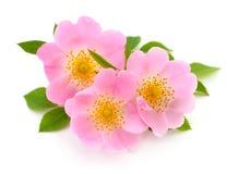 Les fleurs de la rose sauvage d'isolement images libres de droits