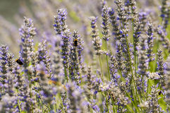 Les fleurs de lavande se ferment vers le haut Image libre de droits