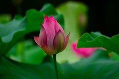 Les fleurs de lotus de rose Images stock