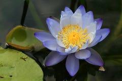 Les fleurs de lotus ou le nénuphar bleues et pourpres fleurit Image libre de droits