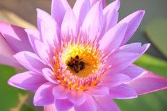 les fleurs de lotus Pourpre-roses fleurissent dans la piscine Le dos a une belle feuille verte de lotus photos libres de droits