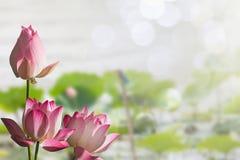 Les fleurs de lotus roses sur le lotus brouillé part dans le lac avec le fond mou de bokeh Photos stock