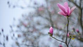 Les fleurs de magnolia qui se tiennent grandes comme un rêve rosâtre parmi le tout le ressort fleurit à l'université de Washingto Image libre de droits