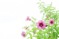 Les fleurs de marguerite sur le fond blanc Photos libres de droits
