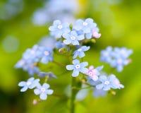 Les fleurs de myosotis photos stock