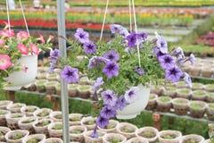 Les fleurs de pétunia Photographie stock