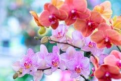 Les fleurs de Phalaenopsis fleurissent ornent au printemps la beauté de la nature Image stock