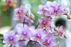 Les fleurs de Phalaenopsis fleurissent ornent au printemps la beauté de la nature Photos libres de droits