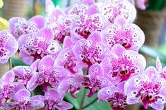 Les fleurs de Phalaenopsis fleurissent ornent au printemps la beauté de la nature Photos stock