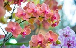 Les fleurs de Phalaenopsis fleurissent ornent au printemps la beauté de la nature Images libres de droits