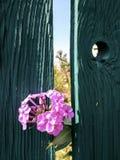 Les fleurs de phlox jettent un coup d'oeil par derrière la barrière photo stock