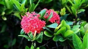 Les fleurs de pivoine fleurissent rouge sur les groupes verts de feuille photographie stock libre de droits