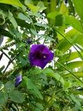 les fleurs de pois avec le vert part du fond Photographie stock libre de droits