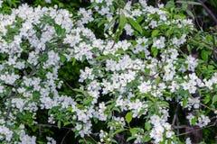 Les fleurs de pomme-arbre Une branche Photo stock
