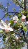 Les fleurs de pommier au printemps dans le jardin, le ciel est bleue et belle photographie stock