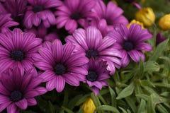 Les fleurs de pourpre Photos libres de droits