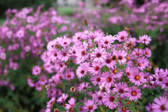 Les fleurs de pourpre et les feuilles vertes Photographie stock libre de droits