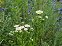 Les fleurs de pré photographie stock libre de droits